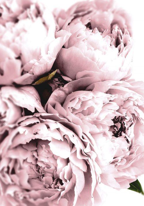 Plakat z kwiatem piwonii w kolorze różowym